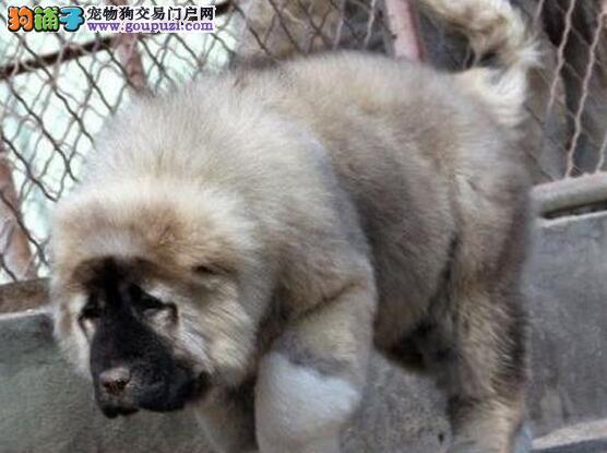 张家口出售俄罗斯高加索犬 打完疫苗带血统证书芯片