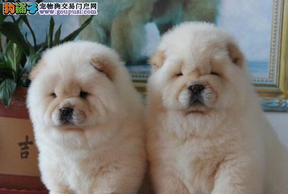 纯种赛级松狮幼犬高品质纯血统-终身保障