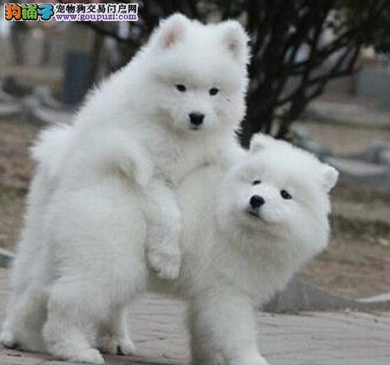 雪白色微笑天使般的昆明萨摩耶优惠出售中 狗贩子勿扰