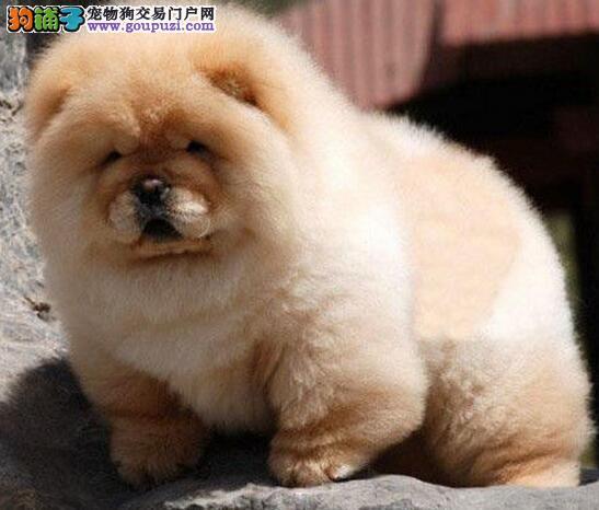 松狮幼犬出售中 专业繁殖血统纯正 质保健康90天