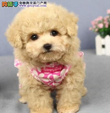 贵阳超小体茶杯泰迪犬 多色可选 口袋泰迪熊 可送货1