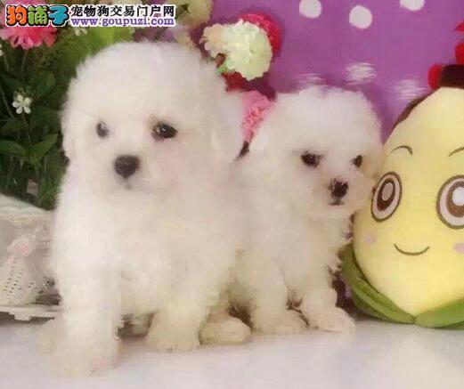 北京家养比熊犬宝宝出售 健康保证无异味的小型犬比熊