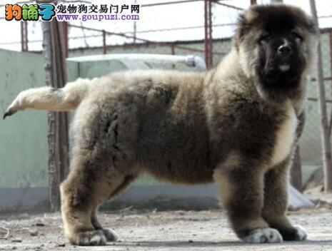 杭州知名犬舍直销高品质高加索幼犬 质量三包 签协议