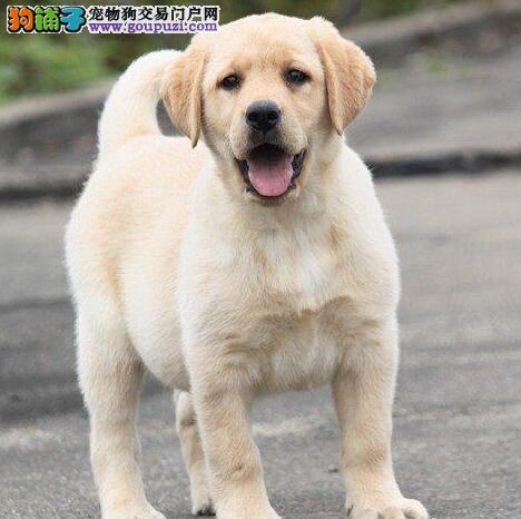 低价转让纯种优秀拉布拉多犬 欢迎来北京犬舍购买
