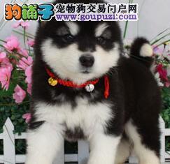 阿拉斯加雪橇犬的选购要点有哪些要分享的