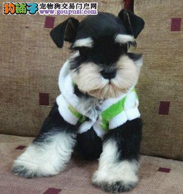 雪纳瑞犬椒盐色跟灰银色的迷你雪纳瑞幼犬聪明老头狗4