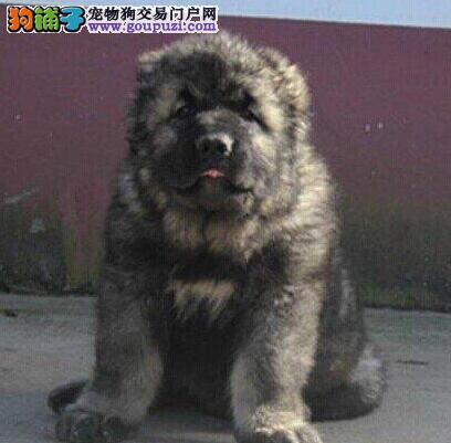 阳江市犬舍直销健康熊版巨型高加索犬打完疫苗做完驱虫