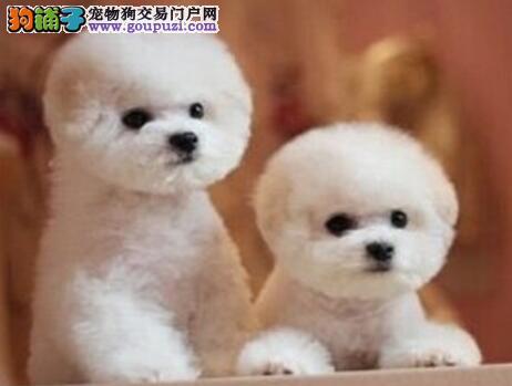 北京犬舍出售比熊犬幼犬宠物级比熊犬性价比超高无异味