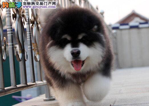 狗场直销杭州出售纯种阿拉斯加犬幼犬包养活签协议3