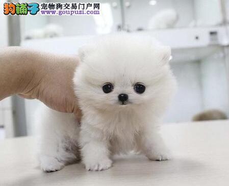 山东青岛博美犬  实物拍摄  健康纯种 免费送货