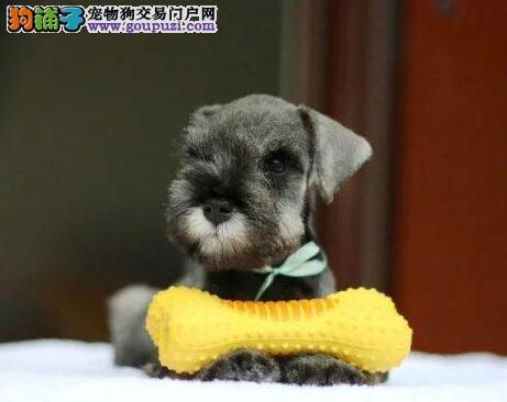 特价出售高品质小体南京雪纳瑞犬 签订合法的售后合同