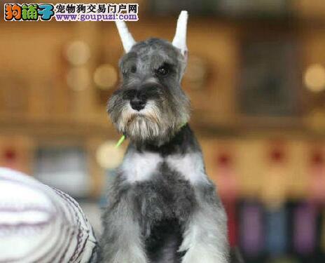 武汉雪纳瑞繁殖专业狗场出售长胡子小雪巨型雪纳瑞