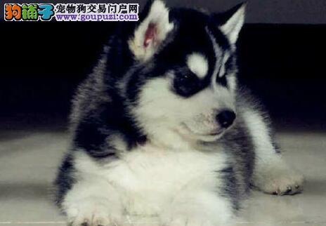 重庆高品质哈士奇 西伯利亚雪橇犬 二哈出售可签协议