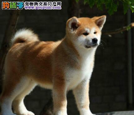 出售极品秋田犬幼犬完美品相微信看狗真实照片包纯