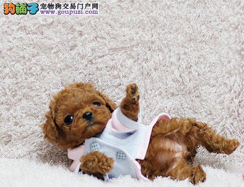 丽水赛级茶杯泰迪犬 红色泰迪幼犬出售玩具泰迪带证书