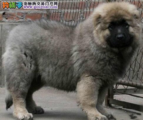 原生态顶级护卫犬-高加索幼犬-低价热销.保健康