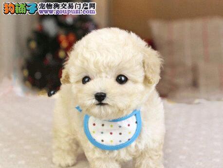 优质泰迪犬幼犬出售 多只颜色可选 品种纯正 可见狗父母