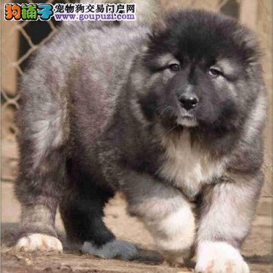 出售大骨架巨型高加索幼犬忠诚的看家护院犬