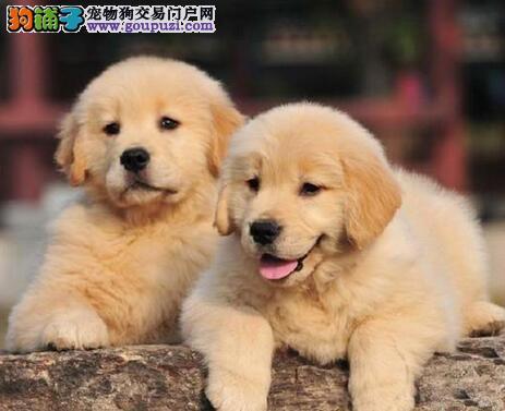高品质金毛犬幼犬出售 枫叶系巡回金毛犬 买狗可送用品