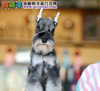 超好品相血统纯正的青岛雪纳瑞找新家 随时上门选购犬