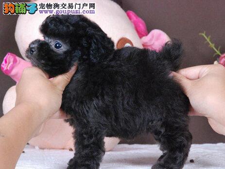 泰迪犬渭南最大的正规犬舍完美售后赛级品质血统保障3