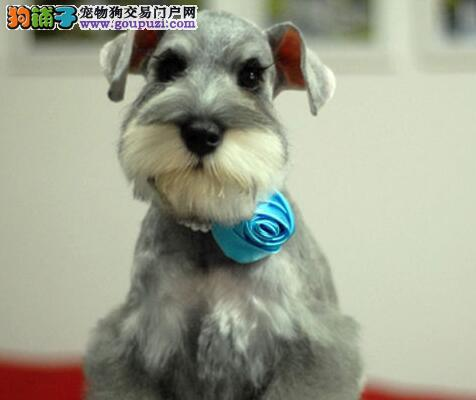 玉溪自家雪纳瑞梗犬出售 白胡子老头有气质的宠物狗
