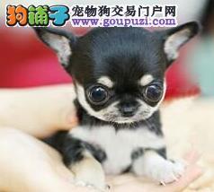 正规犬业常年繁殖出售吉娃娃幼犬