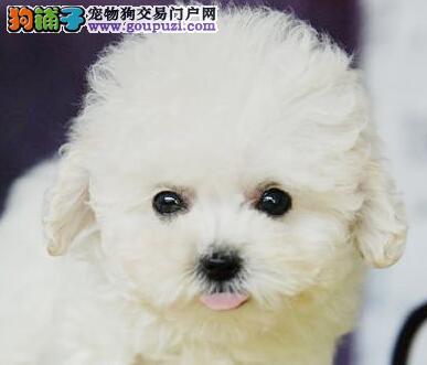 杭州大型犬舍出售茶杯体型血统纯正的泰迪犬 公母均有