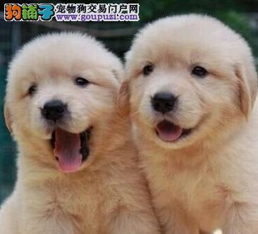国际注册犬舍 出售极品赛级金毛幼犬上门可见父母