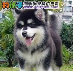 贵阳阿拉斯加专业繁殖 正规狗场 纯种健康 签署协议