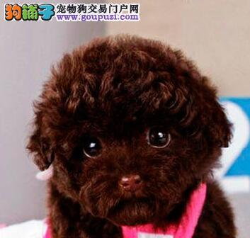 转让正宗优秀泰迪犬 郑州地区可支持包邮送狗