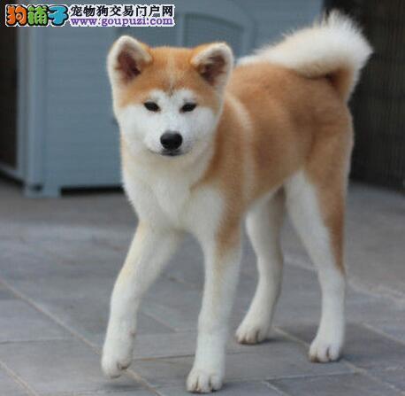 厦门专业繁殖纯种秋田幼犬可送货上门 签协议保健康