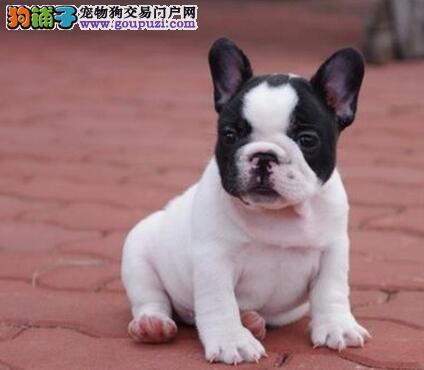 法国斗牛犬忻州最大的正规犬舍完美售后喜欢微信咨询