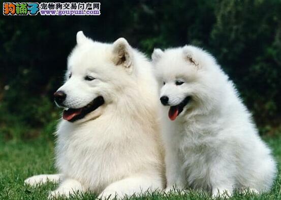 长春狗场出售2到3个月的萨摩耶幼犬 疫苗驱虫齐全