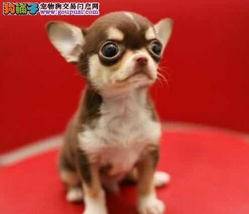 袖珍吉娃娃,黑花铁包金吉娃娃犬可送家刷卡