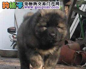 原生态血系狼青色的杭州高加索犬出售中 签订购犬协议