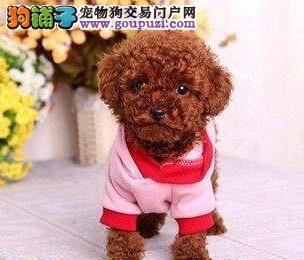 顶级优秀品种韩系贵宾犬热卖中 宁波周边可上门购买