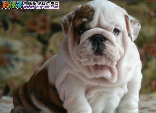 郑州高品质英国斗牛犬出售 英牛幼犬血统纯正签协议