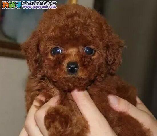 活泼可爱小巧可人的大连贵宾犬优惠出售 签订购犬协议4