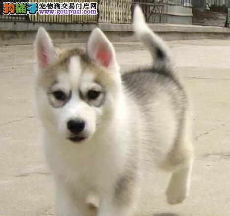 出售自家繁殖的大连哈士奇幼犬 您可随时上门选购爱犬