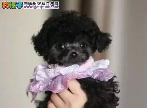活泼可爱小巧可人的大连贵宾犬优惠出售 签订购犬协议2
