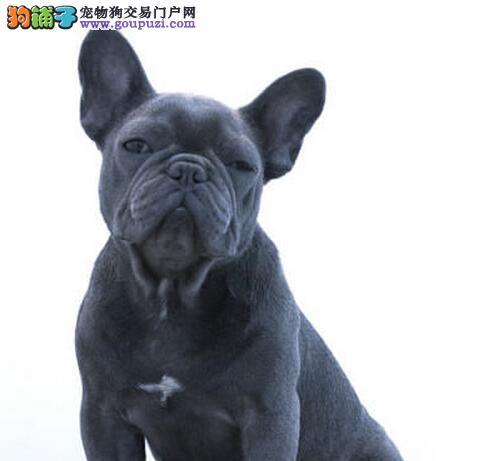 大连正规犬舍售高气质血统纯斗牛犬 我们承诺售后三包