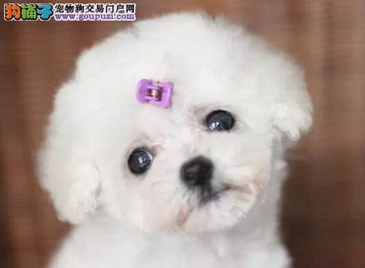 活泼可爱小巧可人的大连贵宾犬优惠出售 签订购犬协议3