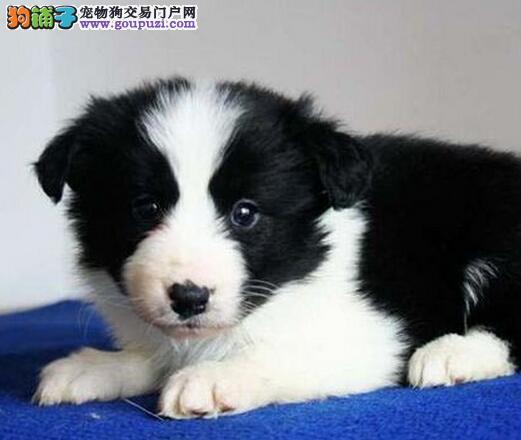 纯种小边境幼犬出售 健康活泼