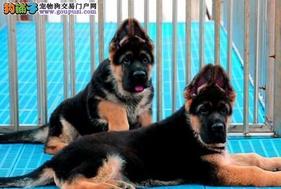 大连繁殖场低价出售锤系德国牧羊犬 身体健康终身售后
