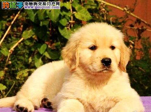广州最大养殖场出售金毛犬 正规信誉商家爱狗人士首选