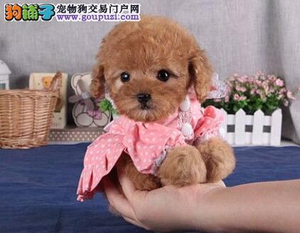 南京出售泰迪南京哪里有卖泰迪多少钱