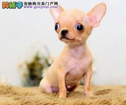 精品纯种三亚吉娃娃出售质量三包爱狗人士优先狗贩勿扰