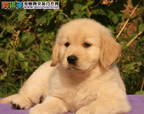 西宁自家繁殖的金毛犬找新主人 求好心人士收留幼犬