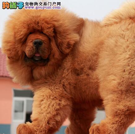 纯种藏獒幼犬、公母均有颜色齐全、提供养护指导